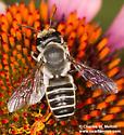 Megachile sp. - Megachile policaris - female