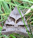 Moth--Noctuidae - Caenurgina erechtea