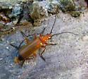 Red Soldier Beetle - Rhagonycha fulva