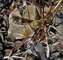 Bee Fly - maybe Dipalta? - Dipalta serpentina