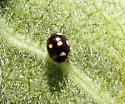 Spurleg Lady Beetle ? - Brachiacantha decempustulata