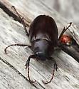 Big Beach Beetle - Phyllophaga