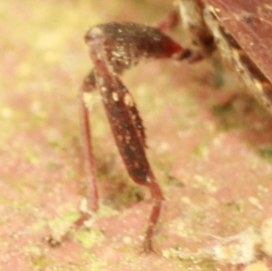 Leaf-footed Pine Seed Bug - Leaffoot - Leptoglossus corculus
