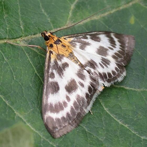 A Pyralid Moth - Anania hortulata