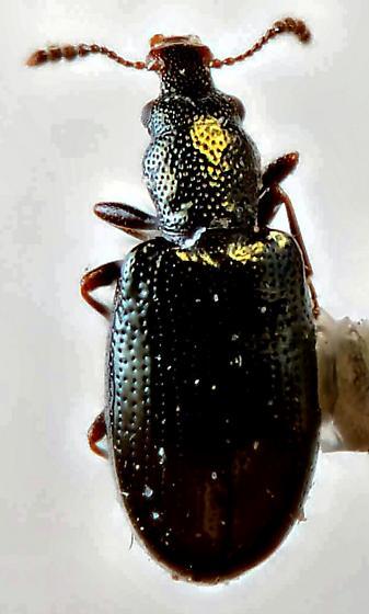 Salpingidae - Rhinosimus