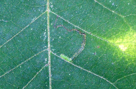 Carya Leaf Mine ID Request - Stigmella undescribed-species-on-carya