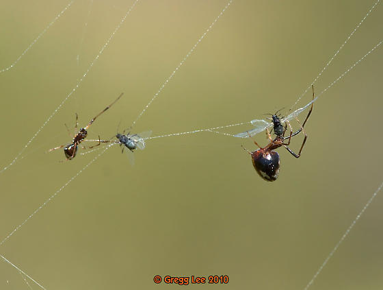 Some Argyrodes elevatus and some not sure.