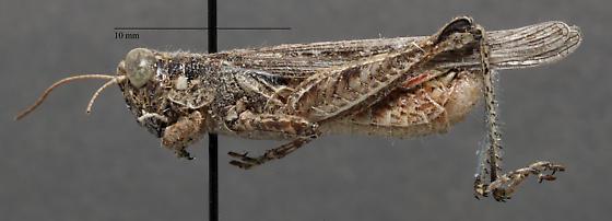 Acrididae - Melanoplus cinereus? - Melanoplus - male