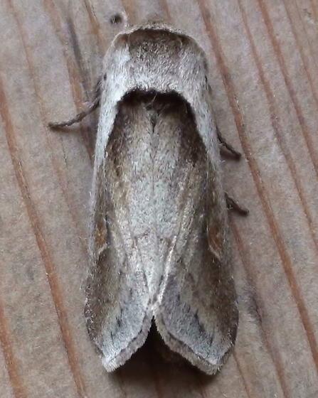 Noctuidae: Bellura obliga - Bellura obliqua