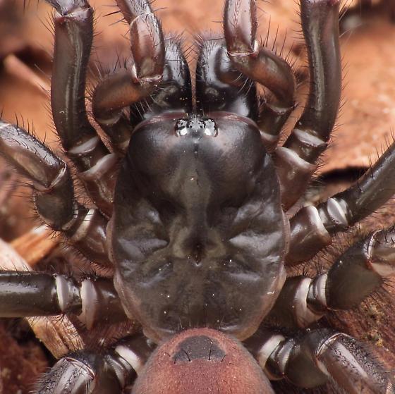 Adult female - Antrodiaetus pacificus - female