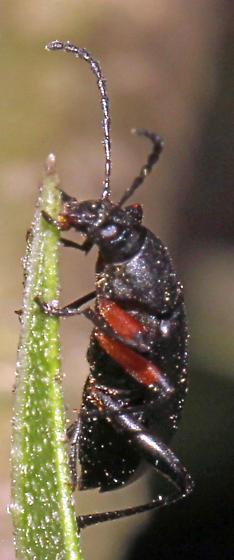 Which Darkling Beetle is this? - Stenochidus gracilis