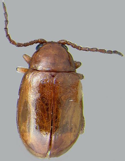 Aphthona cyparissiae