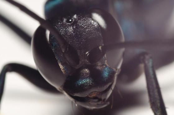 Spider Wasp - Anoplius lepidus