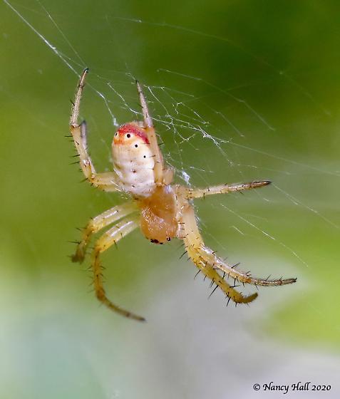 spider id needed - Araniella displicata