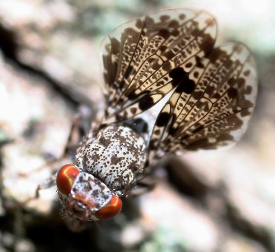 Picture-winged Fly - Callopistromyia annulipes