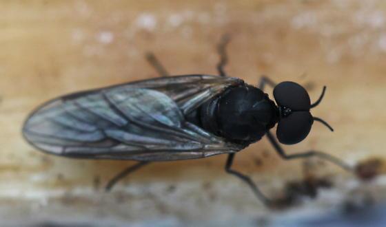 Axymyia furcata - male