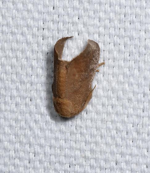 Allen Acres moth II - Isa textula