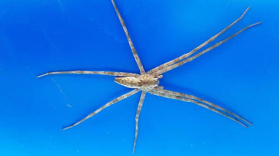 Cassy's spider - Pisaurina mira