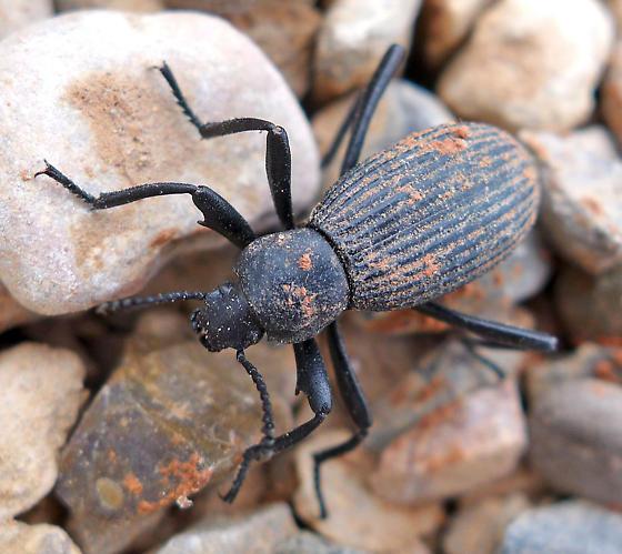 Large darkling beetle - Eleodes hispilabris