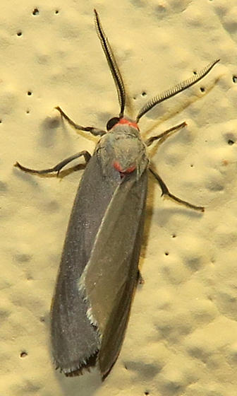 Mousey Tiger Moth - Pygarctia murina - male