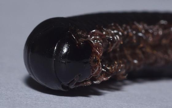 Large millipede
