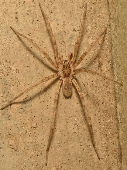 Spider ID - Syspira - male
