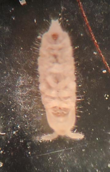 Entomobryomorpha?