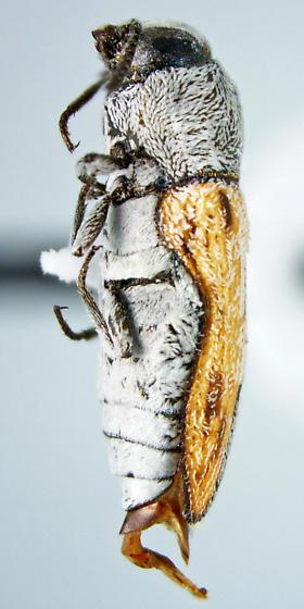 Acmaeoderoides stramineus Nelson - Acmaeoderoides stramineus