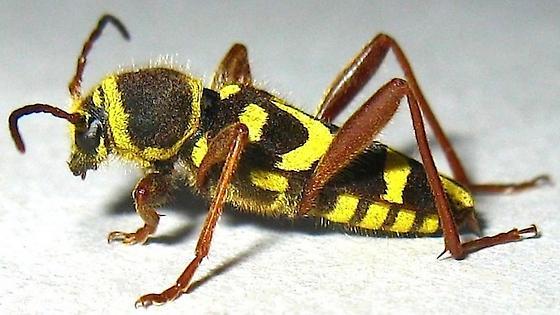Clytus Long-horned Beetle - Clytus planifrons