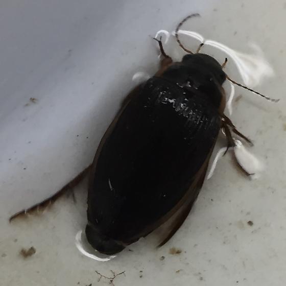 Fam: Dytiscidae; Dytiscus verticalis?
