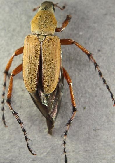 Macrodactylus subspinosus ! - Macrodactylus subspinosus