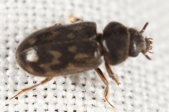Shorthorn beetle - Heterocerus