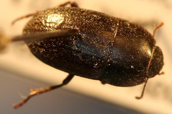 California beetle - Coniontis