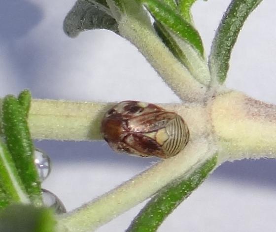 Spittlebug on rosemary - Clastoptera