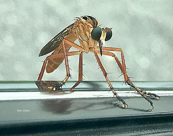 Bug ID - Diogmites