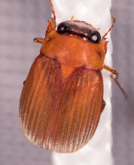 Beetle for ID - Nipponoserica peregrina