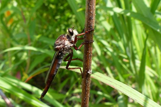 Unknown Robber Fly sp.