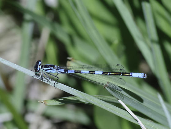 Taiga from Anthony Lake - Coenagrion resolutum - male