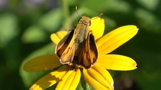 Fiery Skipper male (Hylephila phyleus) - Hylephila phyleus - male