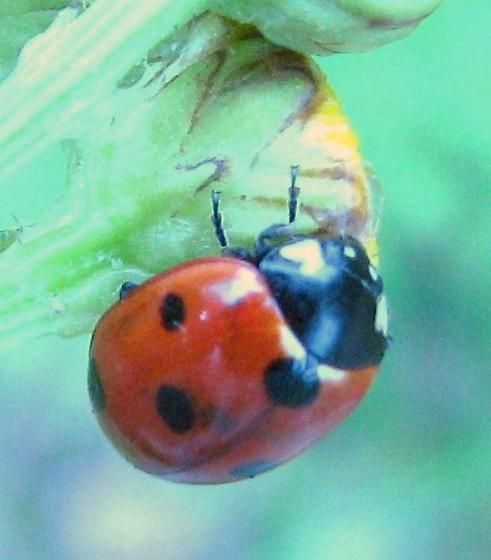 Ladybug - with unusual markings? - Coccinella septempunctata