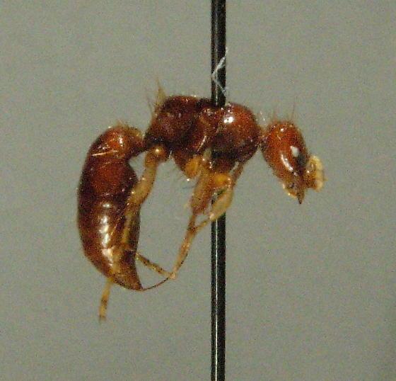 Brachycistidinae - female