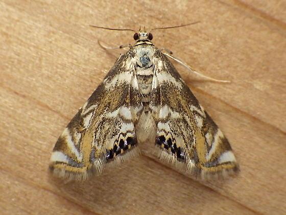 Crambidae: Petrophila canadensis - Petrophila canadensis
