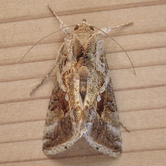 Noctuidae: Rachiplusia ou? - Chrysodeixis includens