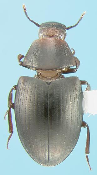 Monommatid beetle - Hyporhagus gilensis