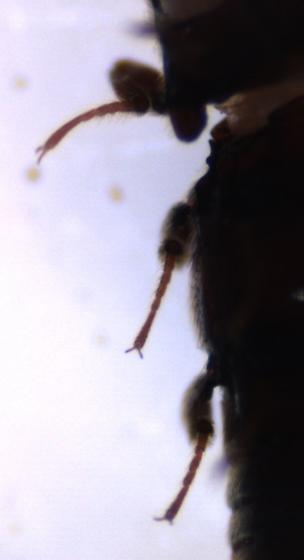 Henoticus?-2 - Henotiderus lorna