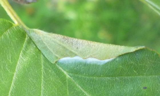 Betulaceae host