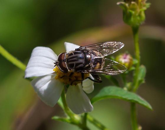 fly - Palpada furcata