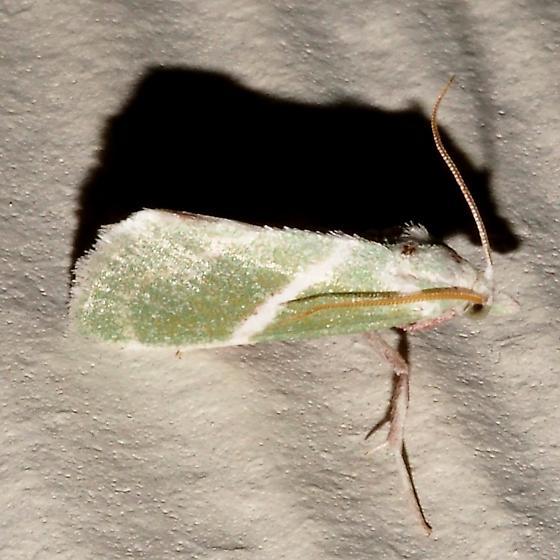 Hodges#5547 - Anemosella obliquata
