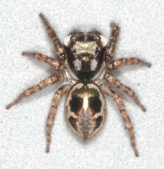 Salticidae - Anasaitis canosa