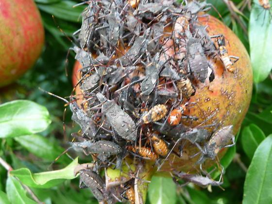 bugs on pomegranate - Leptoglossus - male - female